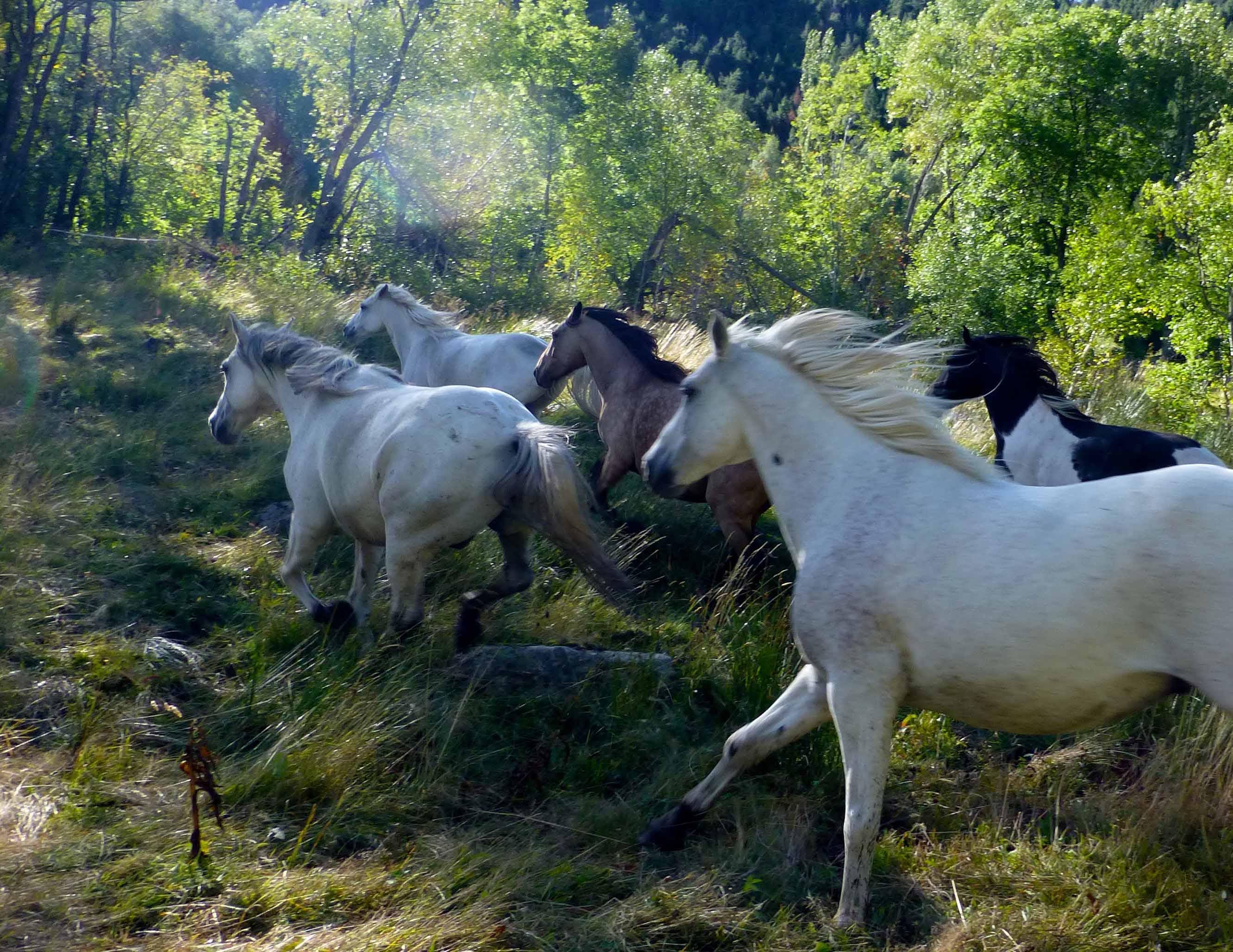 galops chevaux